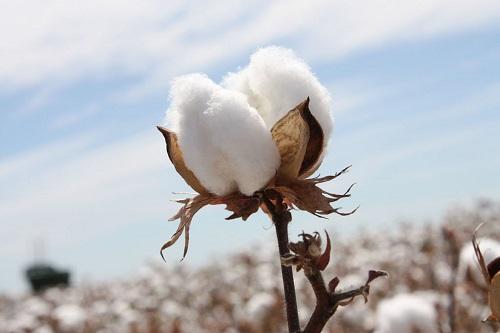 "PPI Training on ""Managing Cotton"""